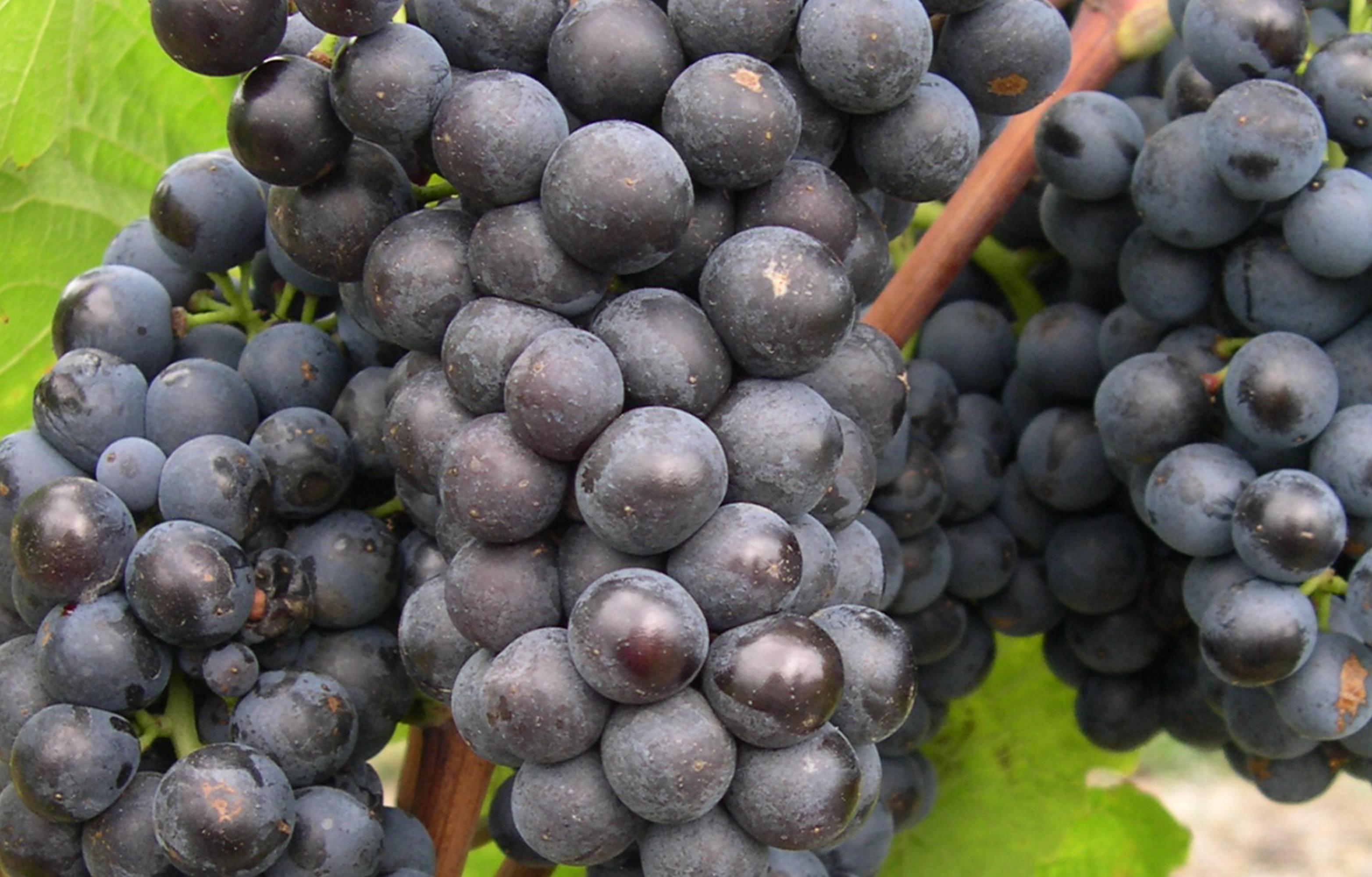 Grappes de gamay - Cépage rouge du Val de Loire - vins rosés et rouges du Val de Loire