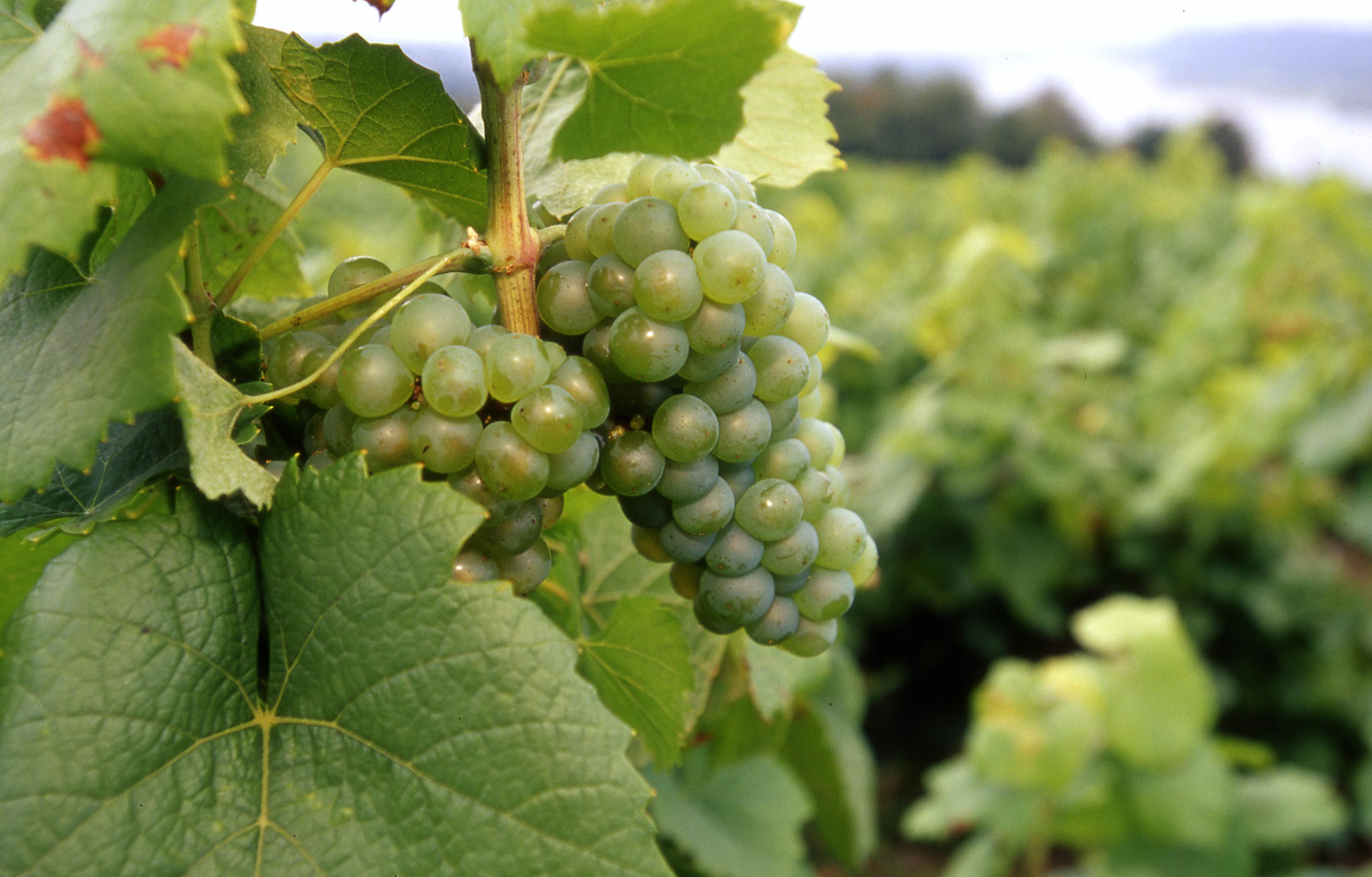 Cépage Melon de bourgogne - Vins du muscadet