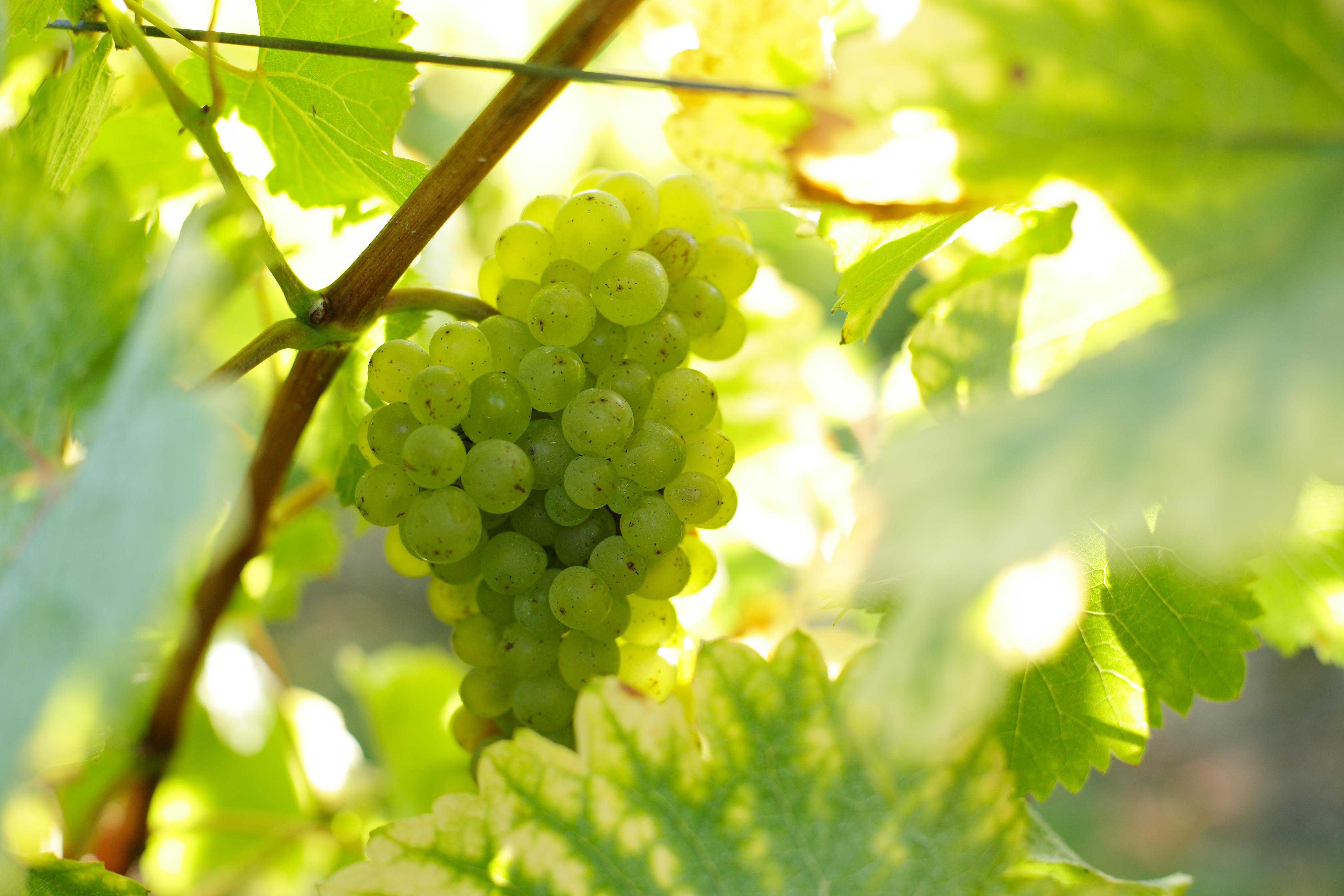Grappe de chenin blanc - Vins blancs du Val de Loire
