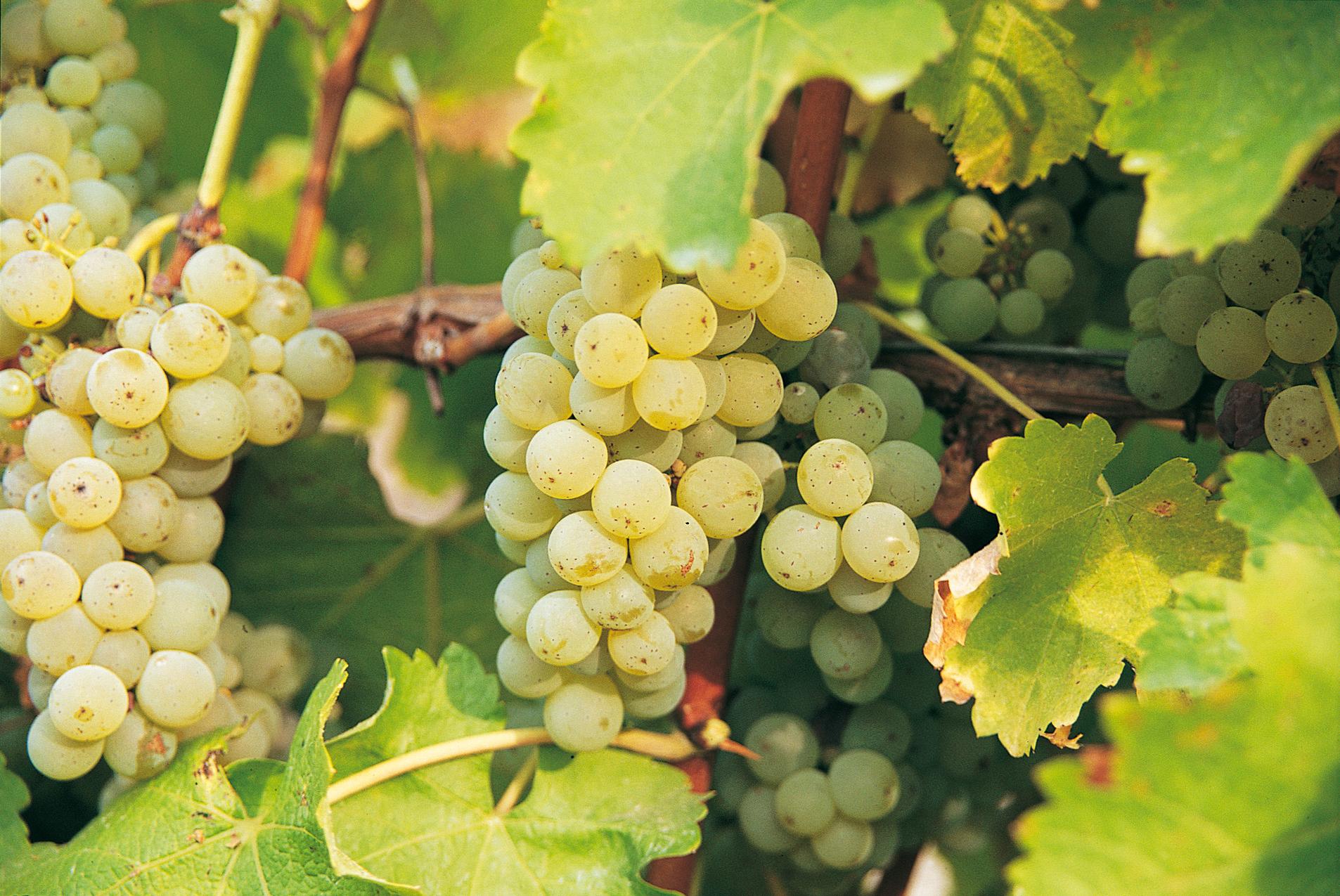 Grappe de sauvignon - vins blanc du val de Loire