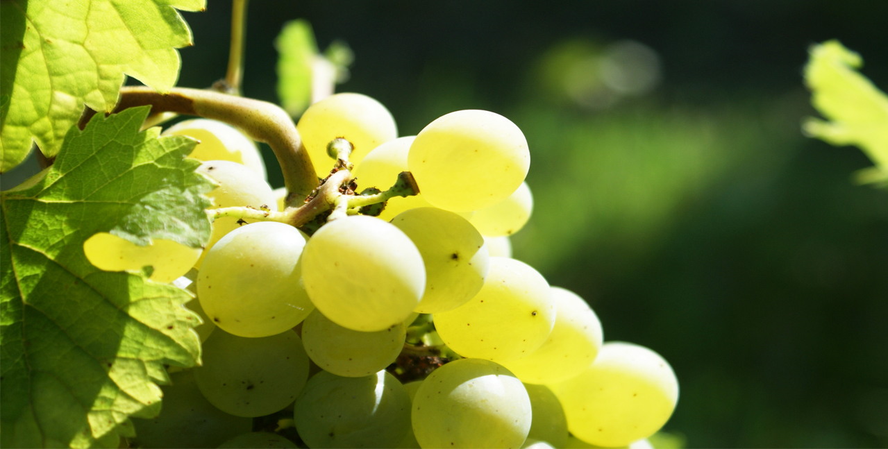 Silhouette of a bunch of white grapes