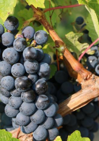 Affiche de l'Anjou Villages, un vin rouge profond et intense