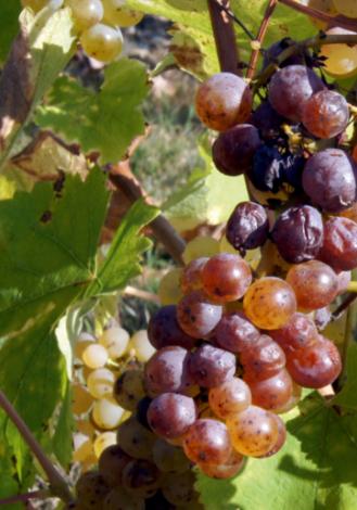 Affiche du Coteaux de Layon Premier Cru Chaume, un vin blanc moelleux